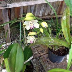 Outra orquídea bonitinha. So tem duas... - @macfa40- #webstagram
