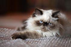 гималайская кошка: 11 тыс изображений найдено в Яндекс.Картинках
