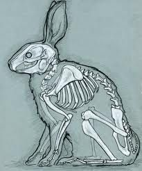 rabbit skeleton - Google Search