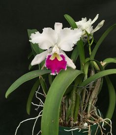 Cattleya Astri 'Addison'- Orchids by Hauserman