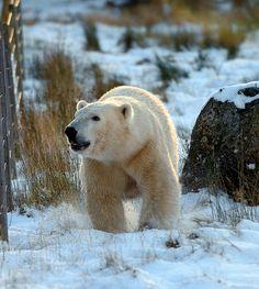 Walker The Polar bear in the snow Highland Wildlife Park Kincraig DSC_1719 by Aaron Sneddon Photography & Aerial Photographer, via Flickr