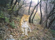 BBC Wildlife Camera-trap Photo of the Year 2012. Animal Portraits and overall winner: Leopard path by Zhou Zhefeng, China.