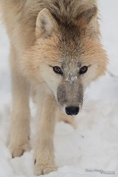 The wild comes along with many things such as these........wolves.