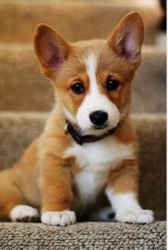 Why are corgis so cute ❤️
