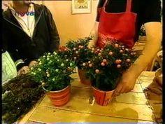 Pestovanie kvetov - Solanum a Cyclamen - ako sa starať o kvety - VIDEO Ako sa to robí.sk