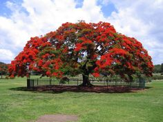 The Royal Poinciana tree (Delonix Regia). This tree can get feet tall, but it's wide spreading umbrella-like canopy can be wider than it's height, a big bonsai. It can tolerate hard pruning & can be kept small to even grow in a greenhouse. Delonix Regia, Graphic 45, Flowers Australia, Flame Tree, Bottle Trees, New Farm, Flowering Trees, Trees To Plant, Bonsai