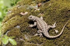 The emerald swift or green spiny lizard (Sceloporus