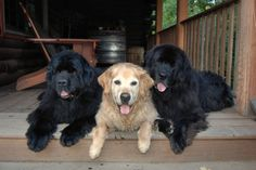 Beautiful dogs!! Especially the black one on the left! <3 I first saw these dogs in Germany...and fell in love!!