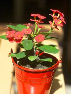 Euphorbia milii - Crown of Thorns, Christ Plant, Siamese Lucky Plant Blooming Succulents, Cacti And Succulents, Planting Succulents, Euphorbia Milii, Crown Of Thorns Plant, Lucky Plant, Front Door Christmas Decorations, Mediterranean Plants, Succulent Gardening