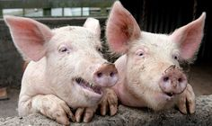 """Goofiest Southern Food and Farm Sayings - """"She's as happy as a dead #pig in the sunshine"""""""