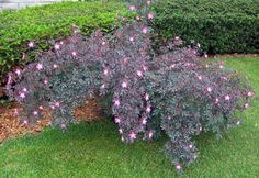 Rosa glauca --- a wild rose with purple foliage and single pink flowers (plus pretty red hips in fall!)