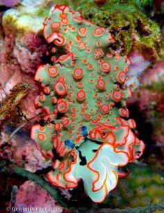 X-mas tree sea slug? By Greg Piper