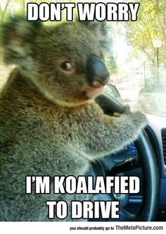 Chauffeur Koala Knows What He's Doing
