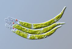 Living green alga Euglena mutabilis.