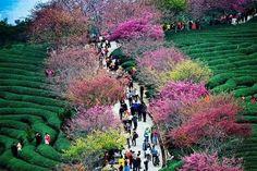 Cherry blossom trees among the tea plantation at Longyan, Fujian Province, China Cherry Blossom Tree, Pink Blossom, Blossom Trees, Cherry Tree, Beautiful World, Beautiful Images, Azalea Bush, Blossom Garden, China