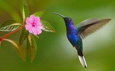 Photo about Hummingbird Violet Sabrewing flying next to beautiful pink. Image of hummingbird, beak, bird - 67920488 Pretty Birds, Love Birds, Beautiful Birds, Animals Beautiful, Exotic Birds, Colorful Birds, Images Colibri, Animals And Pets, Cute Animals