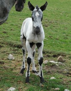1000+ images about horse lover on Pinterest   Horses, Appaloosa ...