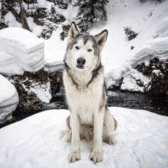 "99.5 mil Me gusta, 333 comentarios - Loki (@loki_the_wolfdog) en Instagram: ""be careful with that look you give, it steals heart beats. ~R.Zatko"""