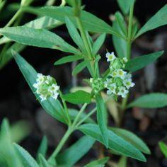 Lippia rehmannii Small Shrubs, Water Wise, Perennials, Wild Flowers, Berries, Garden, Plants, Garten, Bury