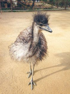 Area: Australia; Habitat: Grassy plains and open forest; Conservation Status: Least Threatened