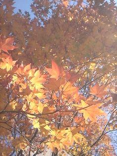 "Japanese red leaves ""紅葉"""