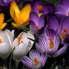 vernus 'warm' mixture - a wonderful, colorful mixture of the vernus-type flowers plus Crocus flavus 'Golden Yellow'; (9/10cm).