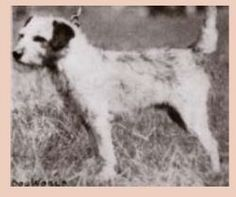Teri was the 1st champion border terrier. He was whelped 1916. By Titlington Jock x Mr Lawrence's Tib.