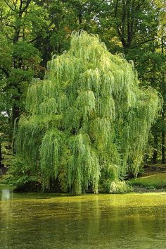 Willow trees give off a unique charm and energy that draws many people in.