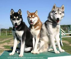 Three beautiful Siberian Huskies