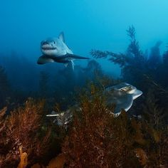 Great white shark & a ray | by Brian Skerry