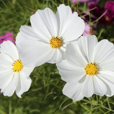 """Cosmos Seeds """"Purity""""Cosmos """"Purity"""" - one our customers' favorite cosmos varieties! This one produces luscious silky white petals. A very versatile flower, Cosmos Purity can be planted in just about any climate and any soil condition. Bloom mid to late summer."""