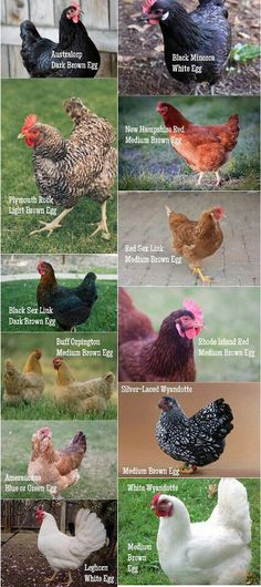 Different types of hens and the eggs they lay.