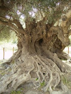 Ancient Olive Tree, Kavousi, Crete, Greece - perhaps dating back to Minoan times (roughly years old). Unique Trees, Trees Beautiful, Greek Culture, Tree Forest, Tree Tree, Paludarium, Old Trees, Nature Tree, Olive Tree