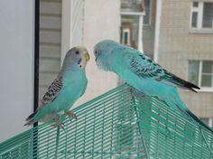 Любовь волнистых попугайчиков.