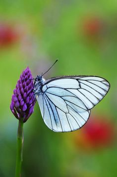 Black-veined White, a favorite of W. in Japan, Asia, Korea, Europe tho extinct in UK since Butterfly Black And White, Nature's Miracle, Butterfly Pictures, Cold Case, Beautiful Butterflies, White Art, Churchill, Great Photos, Moth