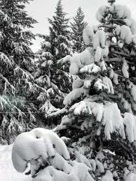 Snow on an evergreen forest, one of the most beautiful things I have ever seen.