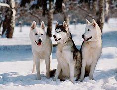 Siberian Husky Information - Dog Breeds at thepetowners Siberian Husky Puppies, Husky Mix, Husky Puppy, Siberian Huskies, Corgi Puppies, Best Medium Sized Dogs, Husky Tumblr, Dog Test, Outdoor Dog