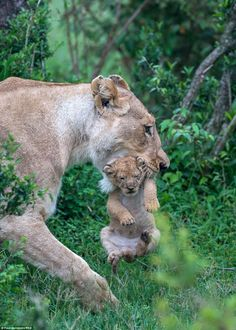 A lioness carries her five-week-old cub gently in her jaws, in Masai Mara, Kenya