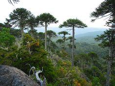 Araucarias en la Cordillera de Nahuelbuta. Foto de Alex Paredes Pradena.