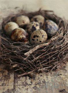 bird nests and eggs