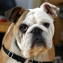 Read all about it! The English Bulldog breed (Wikipedia.com)