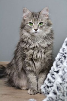 Aww what a fluffy and beautiful cat - Katzen - Cats Kittens And Puppies, Cute Cats And Kittens, Kittens Cutest, Tabby Kittens, Funny Kittens, Bengal Cats, Bulldog Puppies, Pretty Cats, Beautiful Cats