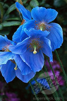 """Blue Himalayan"" poppy"