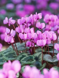 cyclamen are flowers that will grow in shady spots