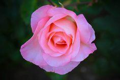 #nature #roses #portland http://www.goldenrosemedia.com flowers at international test rose garden