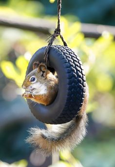 Squirrel tire swing, so cute! Animals And Pets, Baby Animals, Funny Animals, Cute Animals, Funny Pets, It's Funny, Nature Animals, Beautiful Creatures, Animals Beautiful
