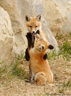 Red Fox kits 7664 (by Bonnieg2010)