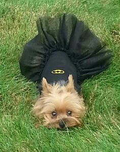 Batgirl Halloween Costumes For Dogs XS to Cute Puppies, Cute Dogs, Dogs And Puppies, Doggies, Animal Costumes, Pet Costumes, Yorkie Puppy, Chihuahua, Teacup Yorkie
