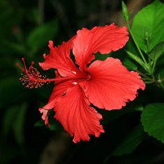 But it has to be in a container and brought in or else winter will kill it. Hibiscus rosa-sinensis - Chinese Hibiscus, Shoeblackplant, Tropical Hibiscus, Red Hibiscus - Hawaiian Plants and Tropical Flowers Tropical Flowers, Tropical Flower Tattoos, Hawaiian Plants, Hawaiian Flowers, Flowers Nature, Exotic Flowers, Tropical Plants, Beautiful Flowers, Lilies Flowers