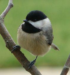 Carolina Chickadee, so sweet and chatty:)   year round